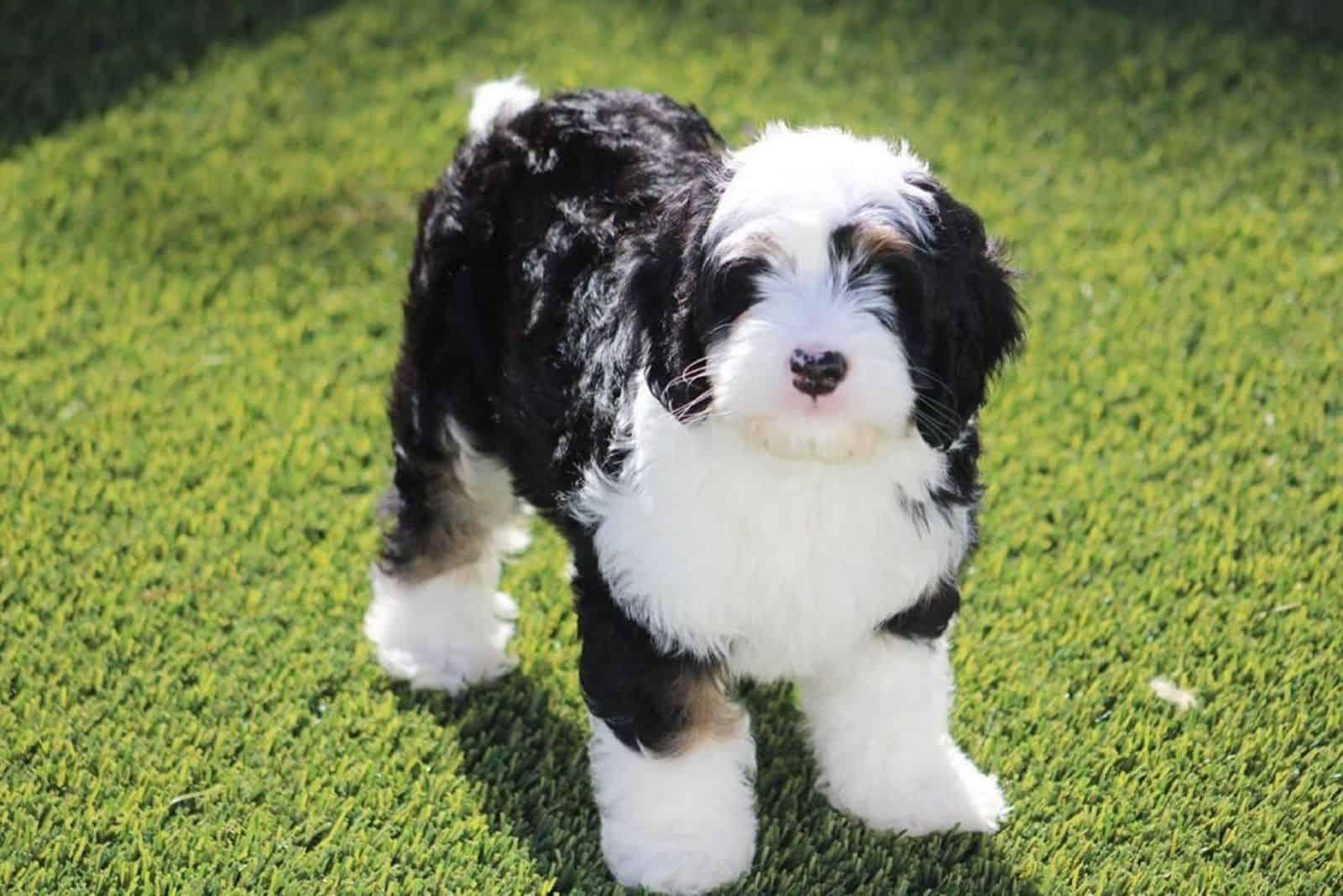 Auf dem Rasen steht ein schwarz-weißer Mini Aussiedoodle