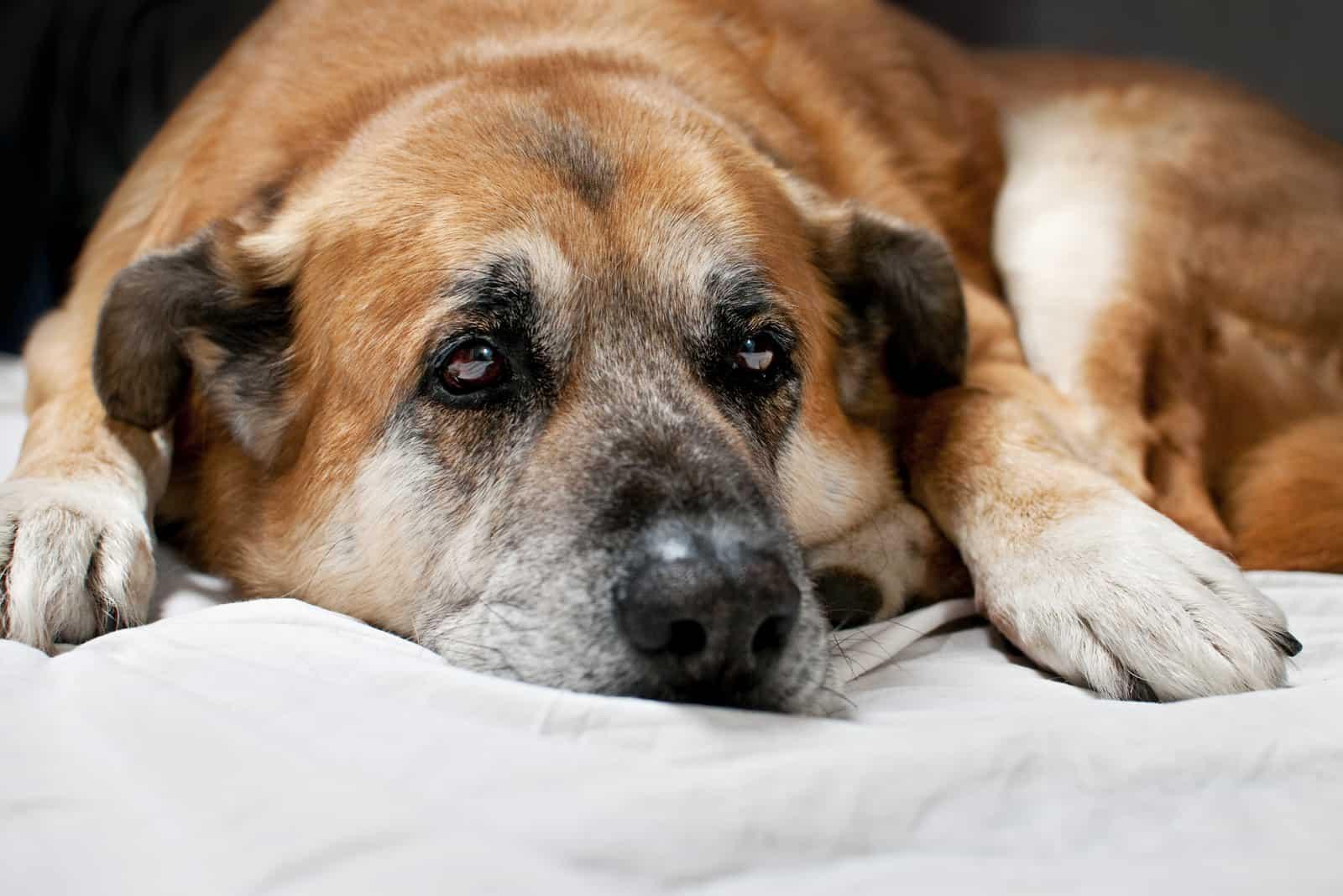 Auf einem weißen Laken liegt ein trauriger alter Hund