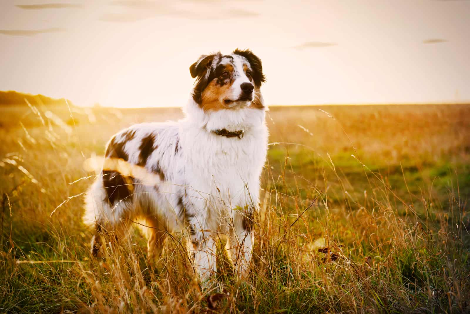 Australian Shepherd Welpe auf einer Wiese