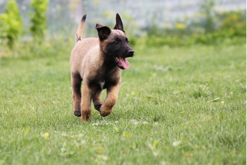 Belgisches Schäferhund Malinois Welpenspiel