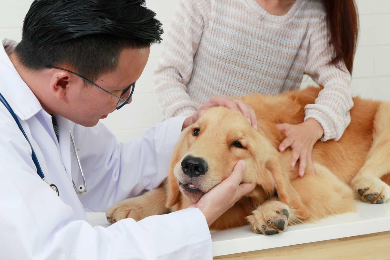 Der Besitzer hält den Hund, während der Tierarzt ihn untersucht