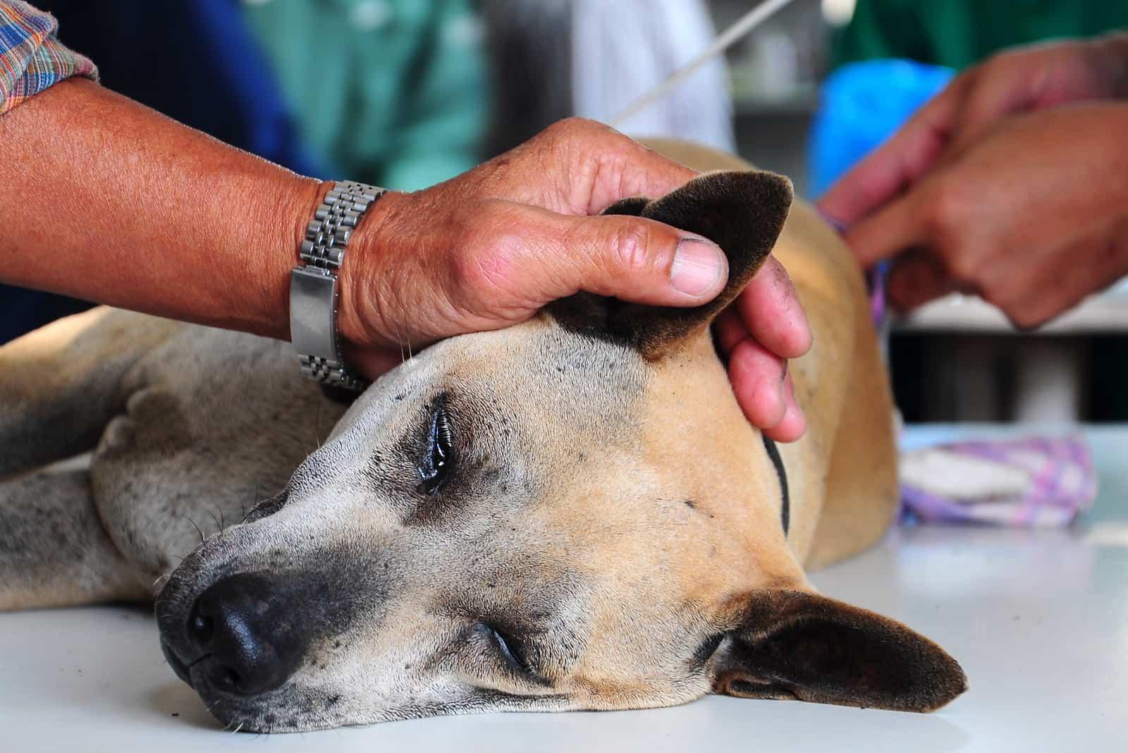 Der Besitzer streichelt den Hund unter Narkose