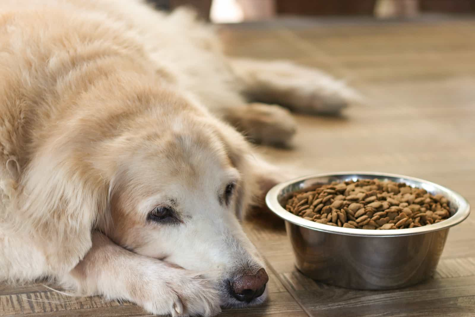 Der traurige alte Labrador Retriever lehnt das Essen ab