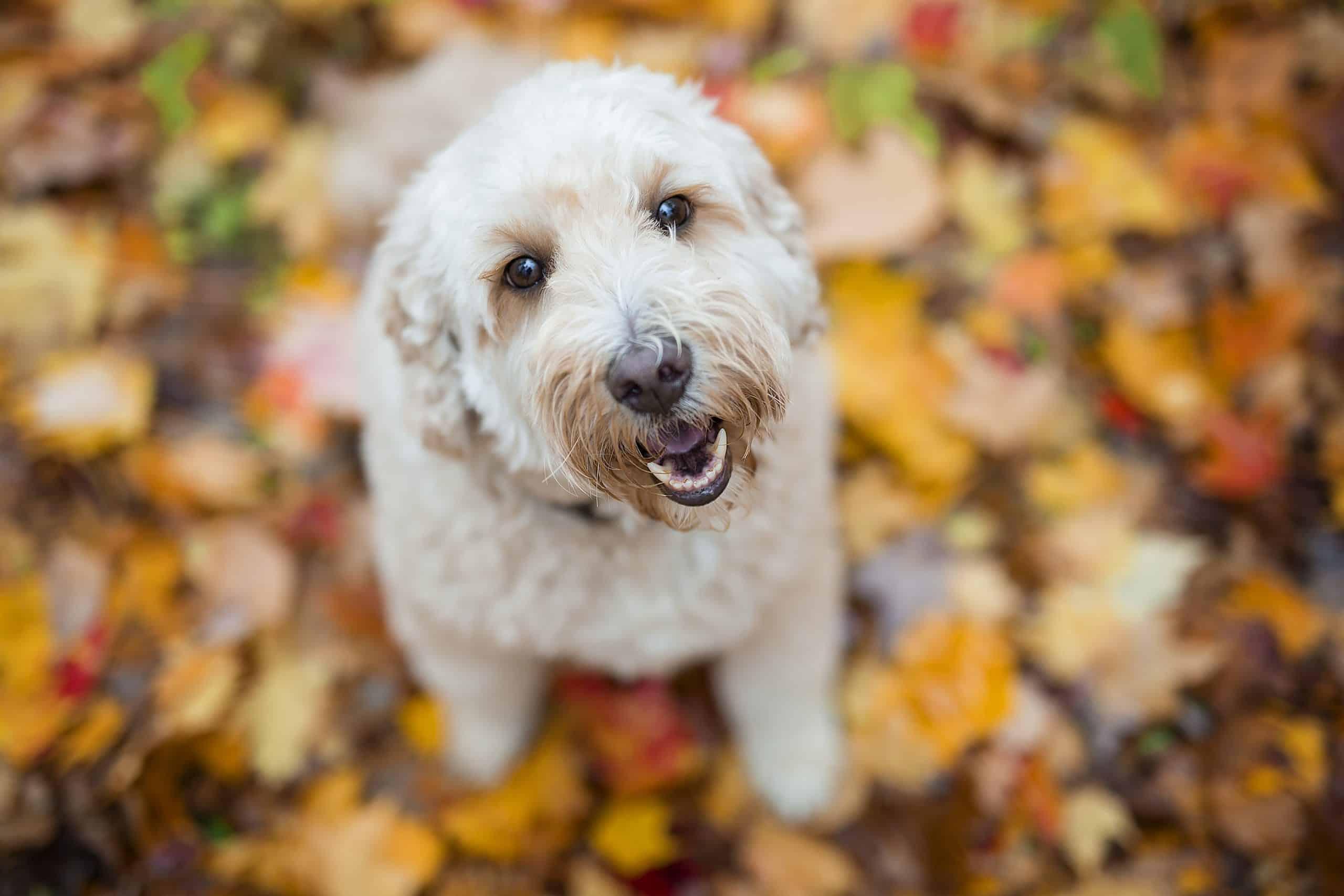 Ein fröhliches Goldendoodle sitzt auf einem trockenen Blatt