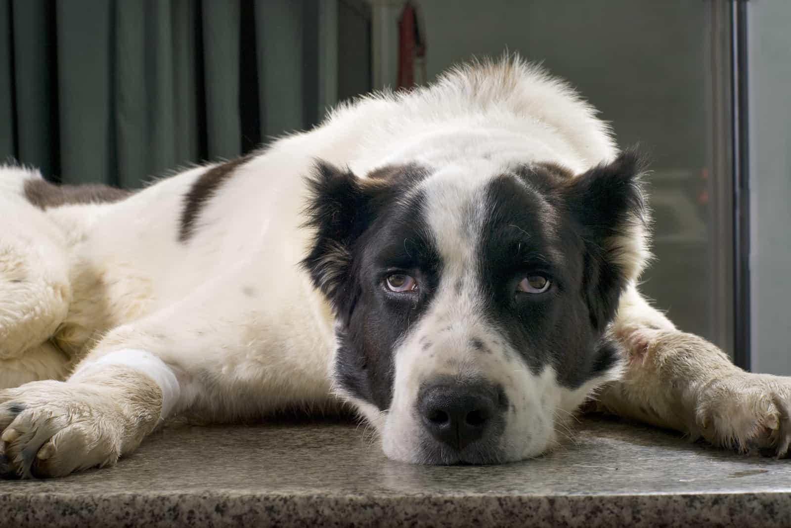 Ein kranker asiatischer Schäferhund in einer Tierklinik liegt auf einem Tisch