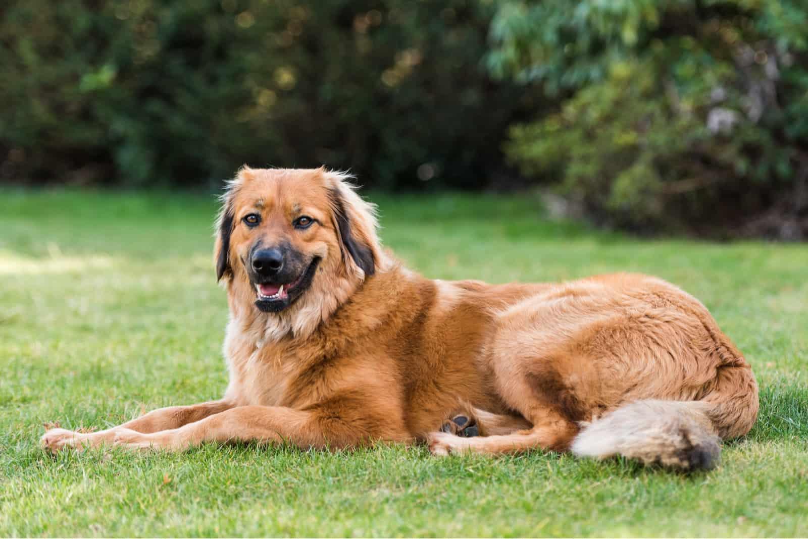 Ein schöner brauner Hund ruht auf der Wiese