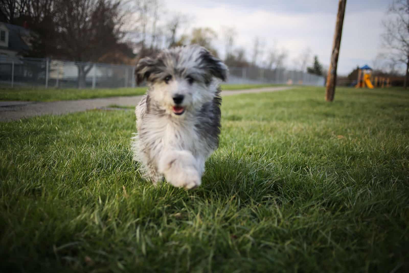 Ein schöner zweifarbiger langhaariger Hund rennt über das Gras