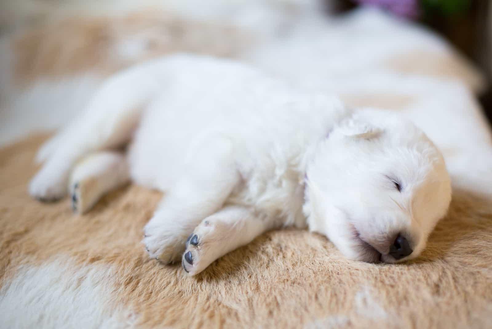 Ein süßer kleiner weißer Welpe schläft