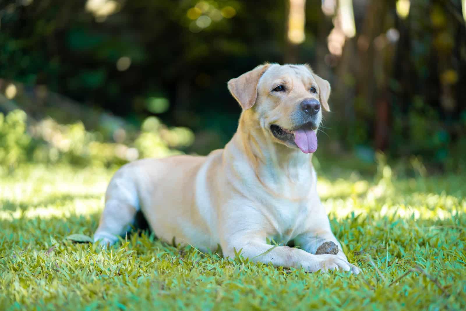 Ein wunderschöner Labrador Retriever ruht sich im Park aus