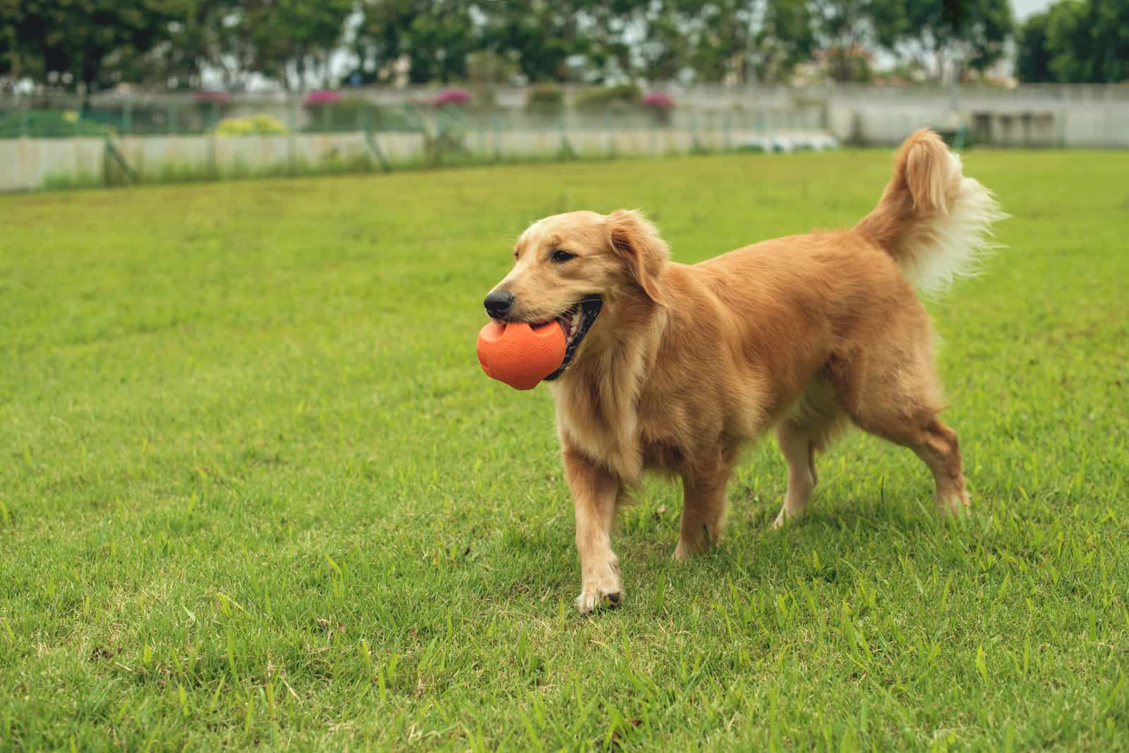 Einjähriger Golden Retriever spielt Fetch