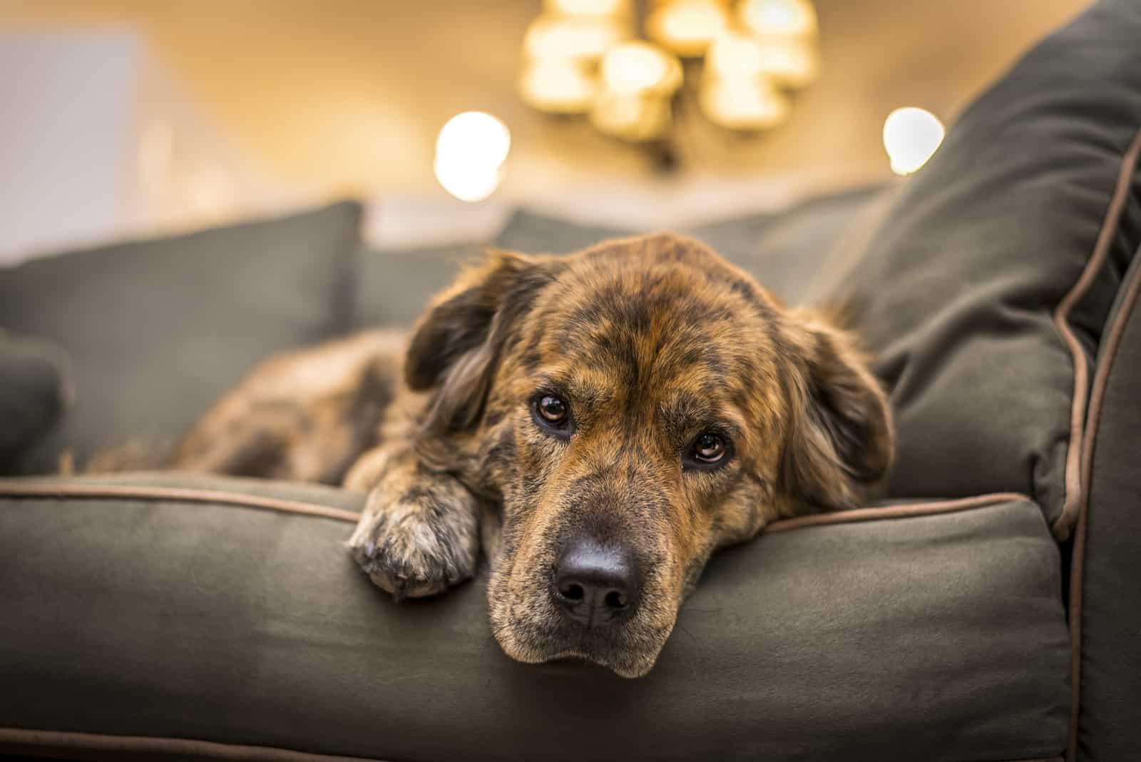 Entzückender, aber trauriger und einsamer Hund, der sich auf das Sofa legt