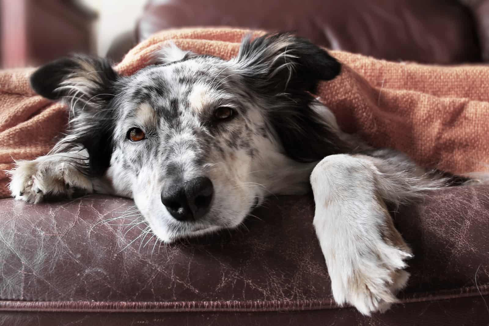 Hund auf der Couch unter der Decke, die traurig aussieht