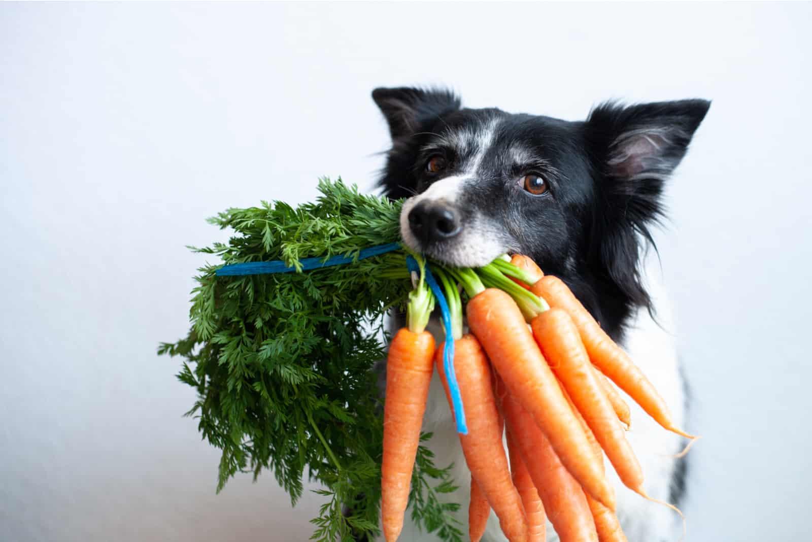 Hund mit Karottenbündel im Mund