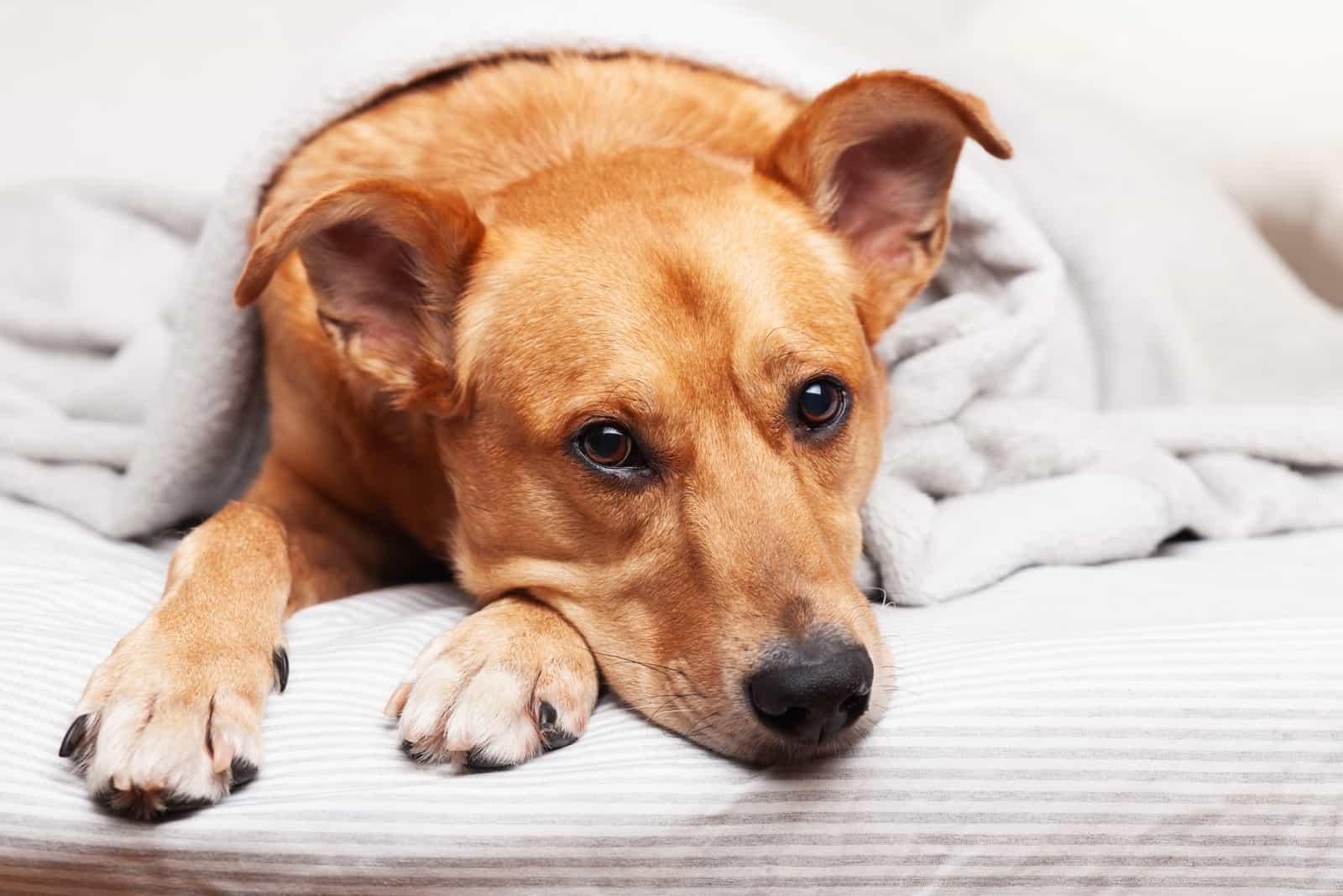 Ingwer Mischlingshund auf hellgrauem Plaid