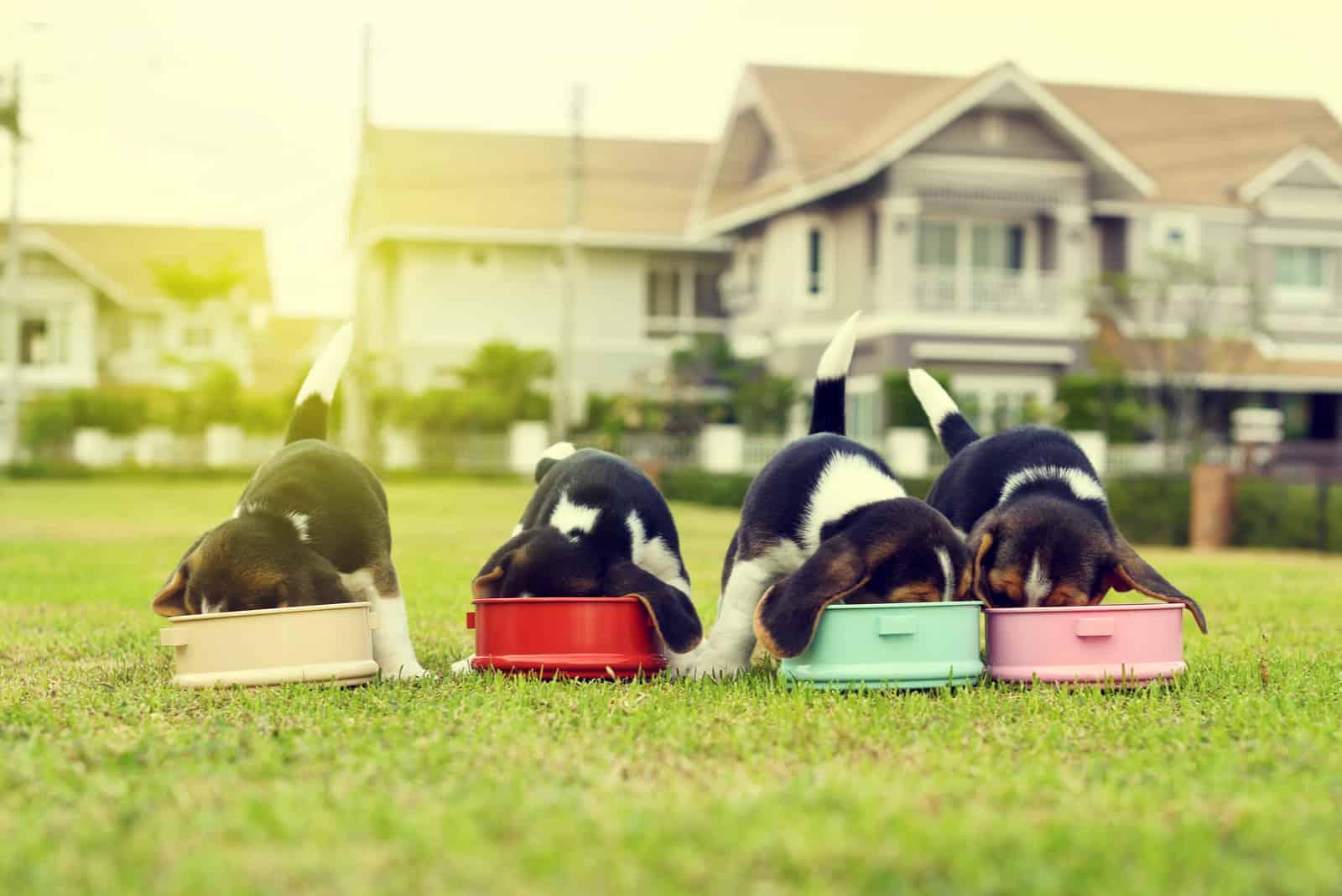 Kleine Beagles, die Futter in der Hundenapf essen