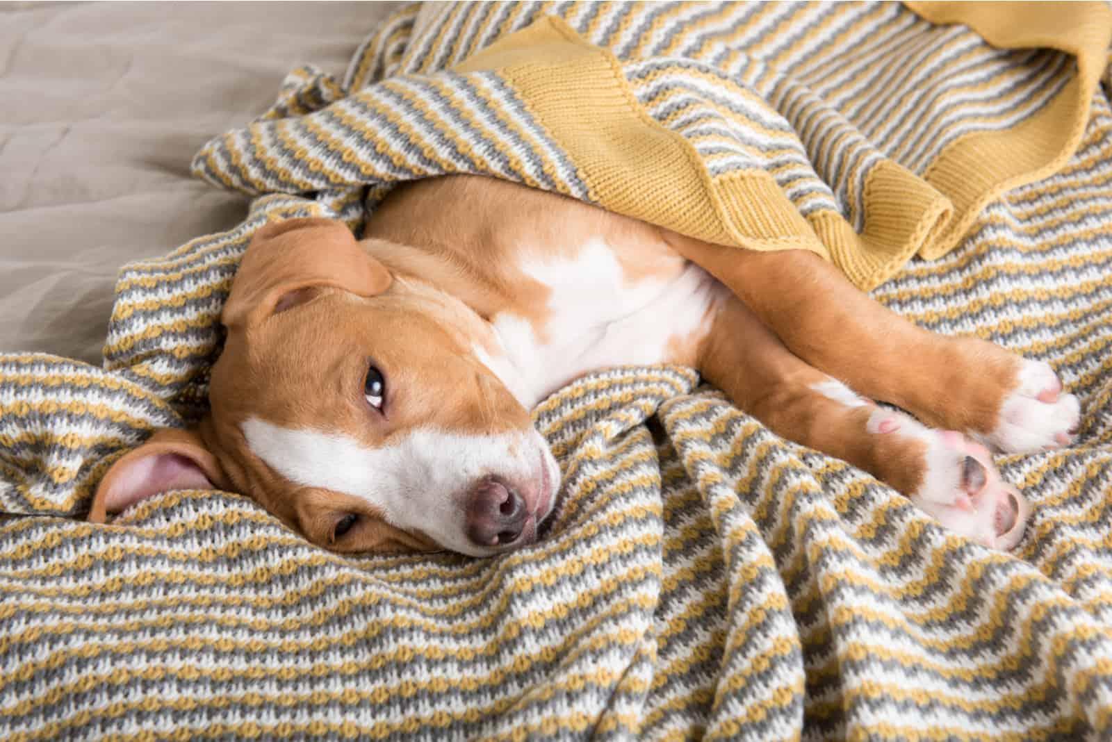 Labrador gemischter Welpe, der einschläft