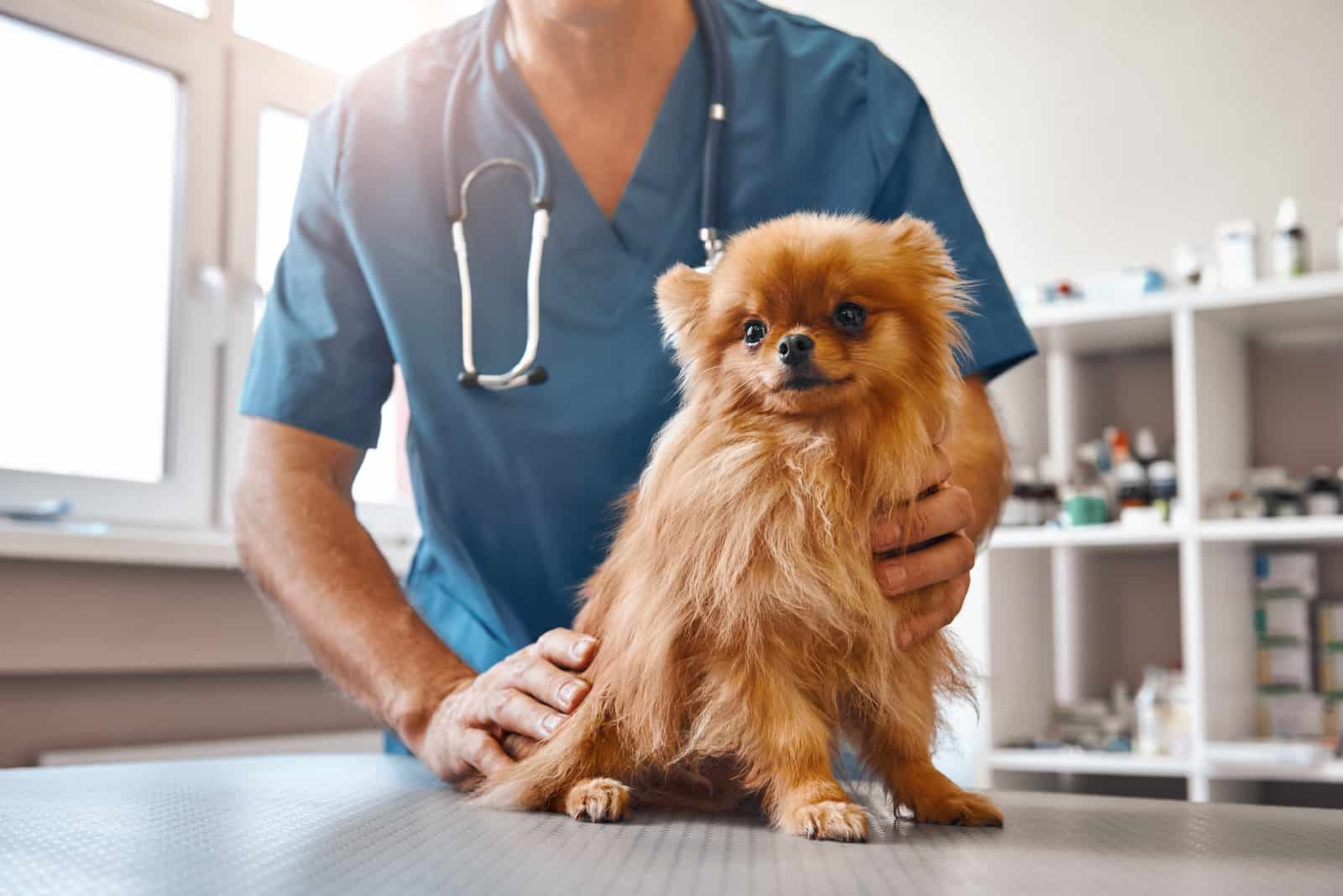 Männlicher Tierarzt in der Arbeitsuniform, die kleinen schönen Hund hält