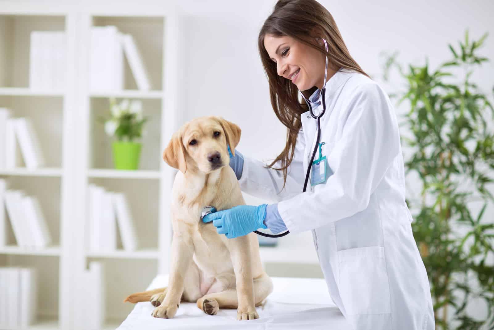 Tierarzt und ein Labrador-Welpe im Tierarzt-Krankenwagen
