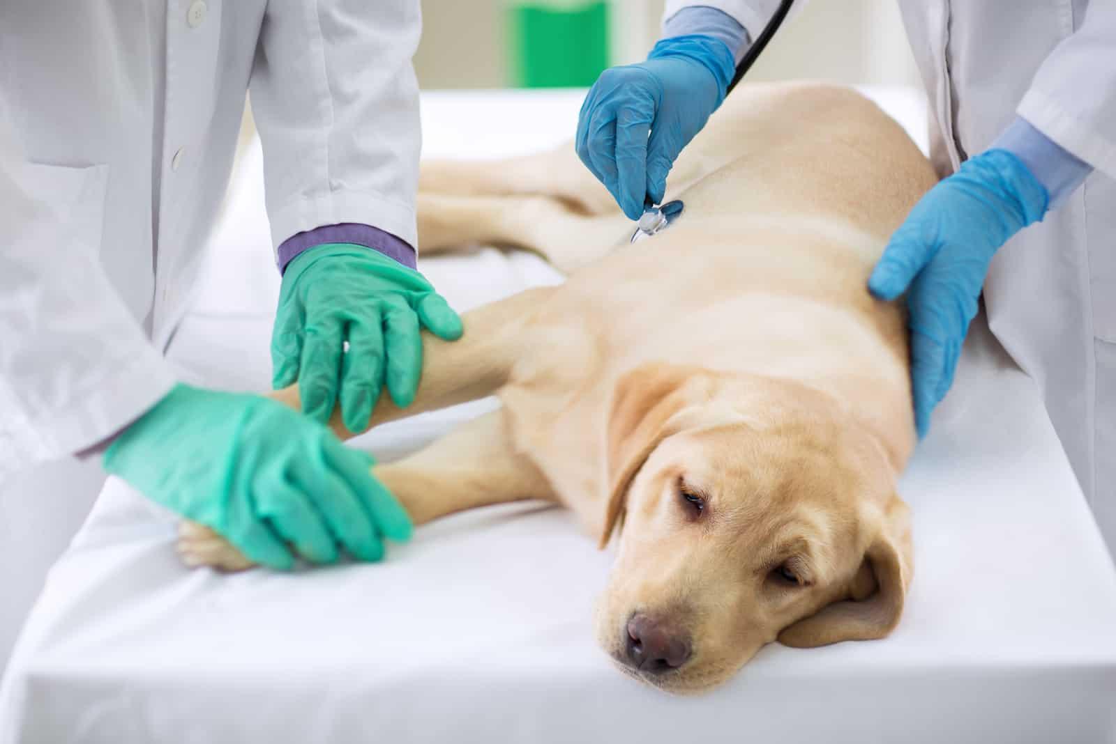 Untersuchung eines kranken Hundes beim Tierarzt