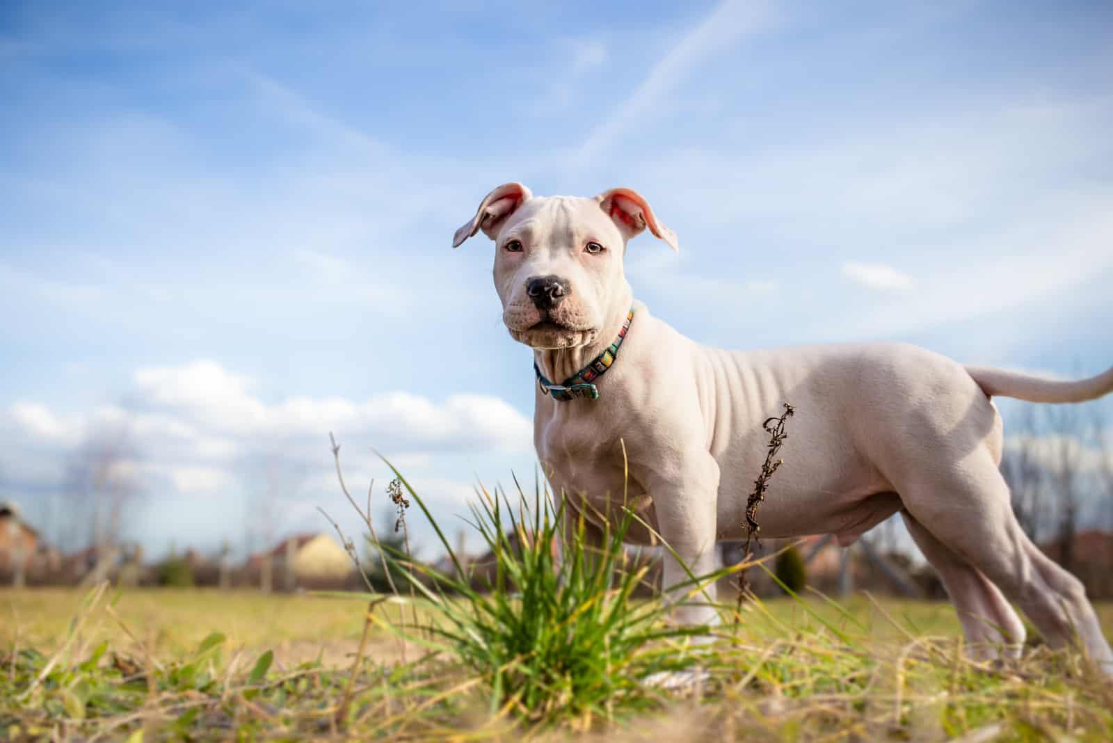 Weißer amerikanischer Staffordshire Terrierwelpe, der auf Gras steht