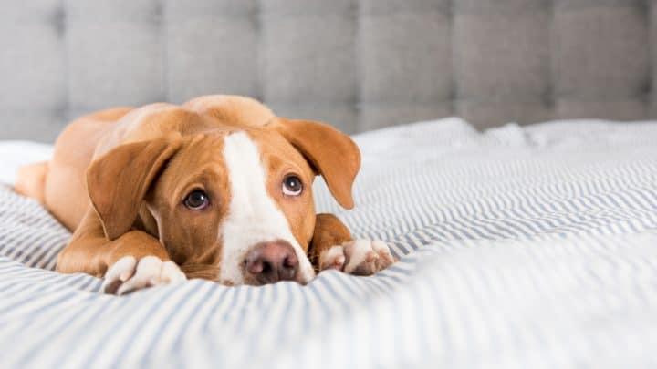 Fawn Mixed Breed Welpe, der auf gestreiftem Bett liegt