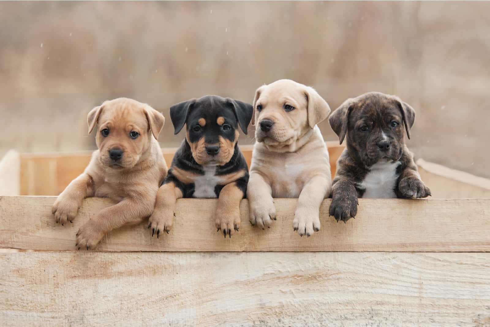 Amerikanische Staffordshire Terrier Welpen sitzen in einer Box