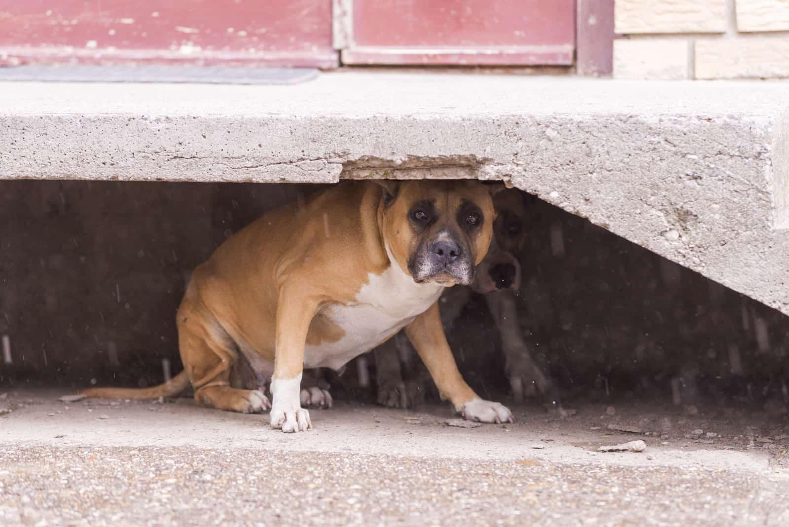 Amerikanischer Staffordshire Terrier Hund erschrocken vor Regen