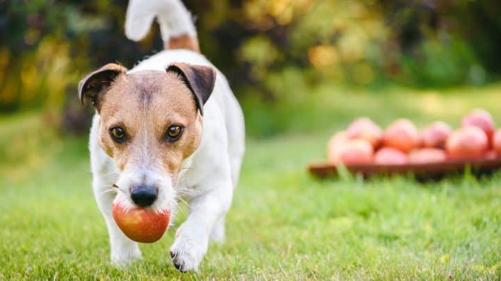 Der Hund trägt einen Apfel im Mund