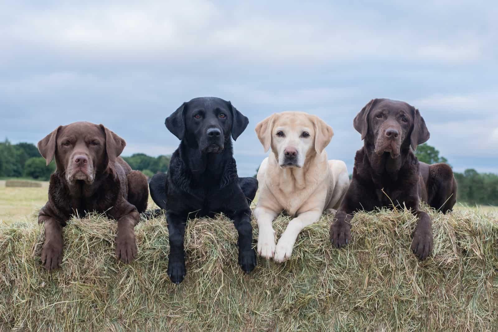 Auf einem Schattenballen sitzen vier verschiedenfarbige Labradore