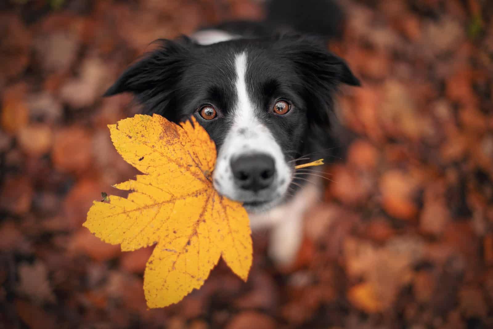 Border Collie Hund hält ein Blatt in seinem Mund