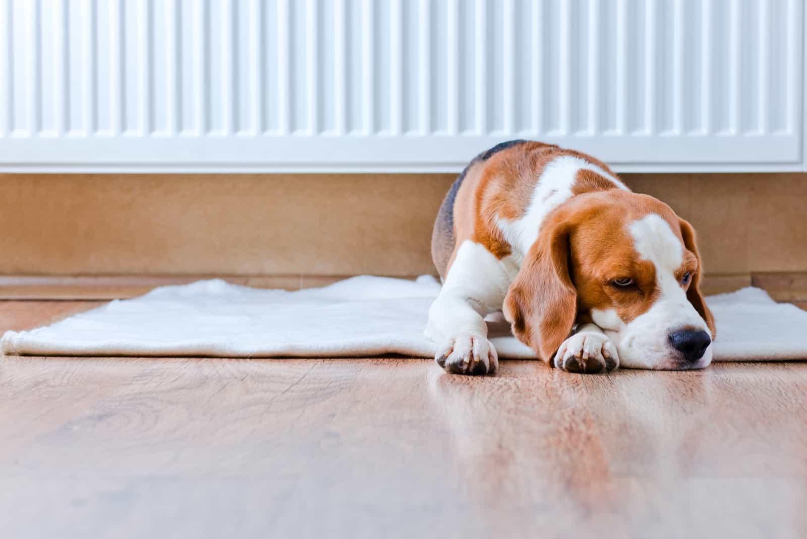 Der Beagle-Hund ruht im Haus auf dem Boden