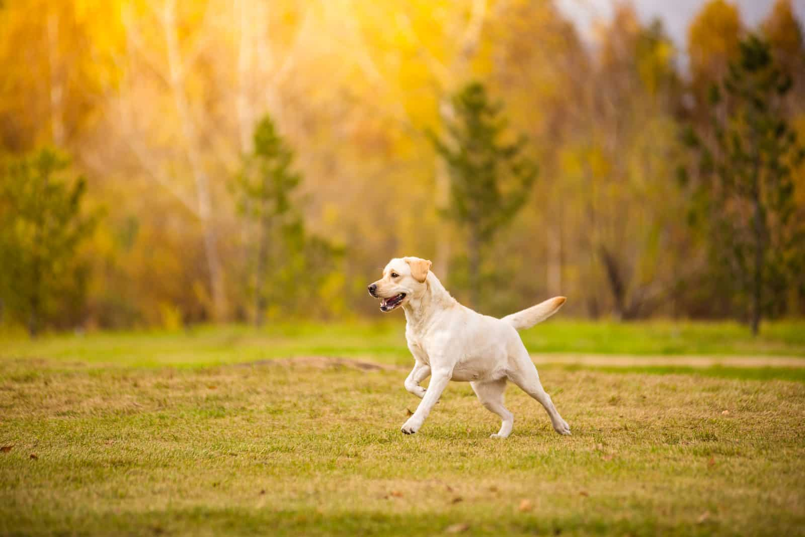 Der Labrador läuft über die Wiese