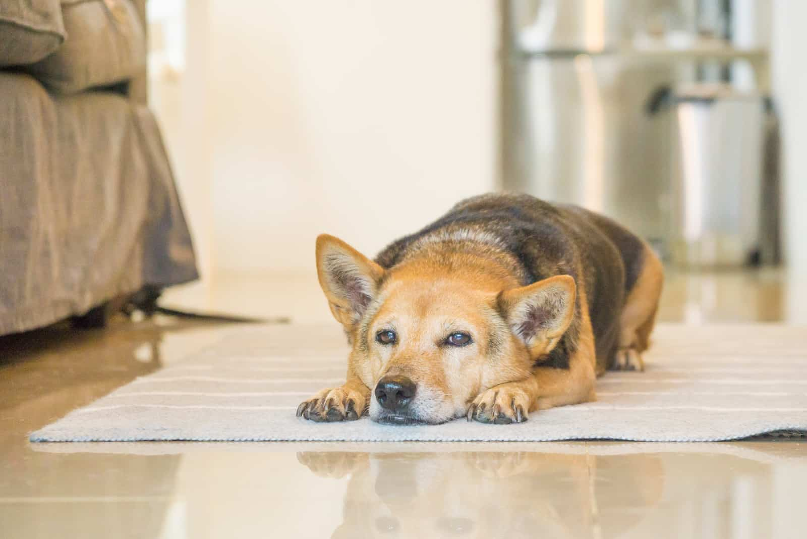 Der ältere Hund ruht auf dem Boden