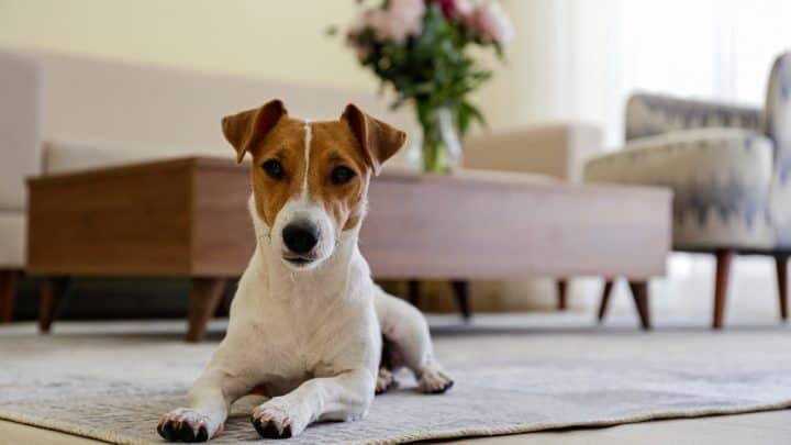 Neugieriger Jack Russell Terrier Welpe