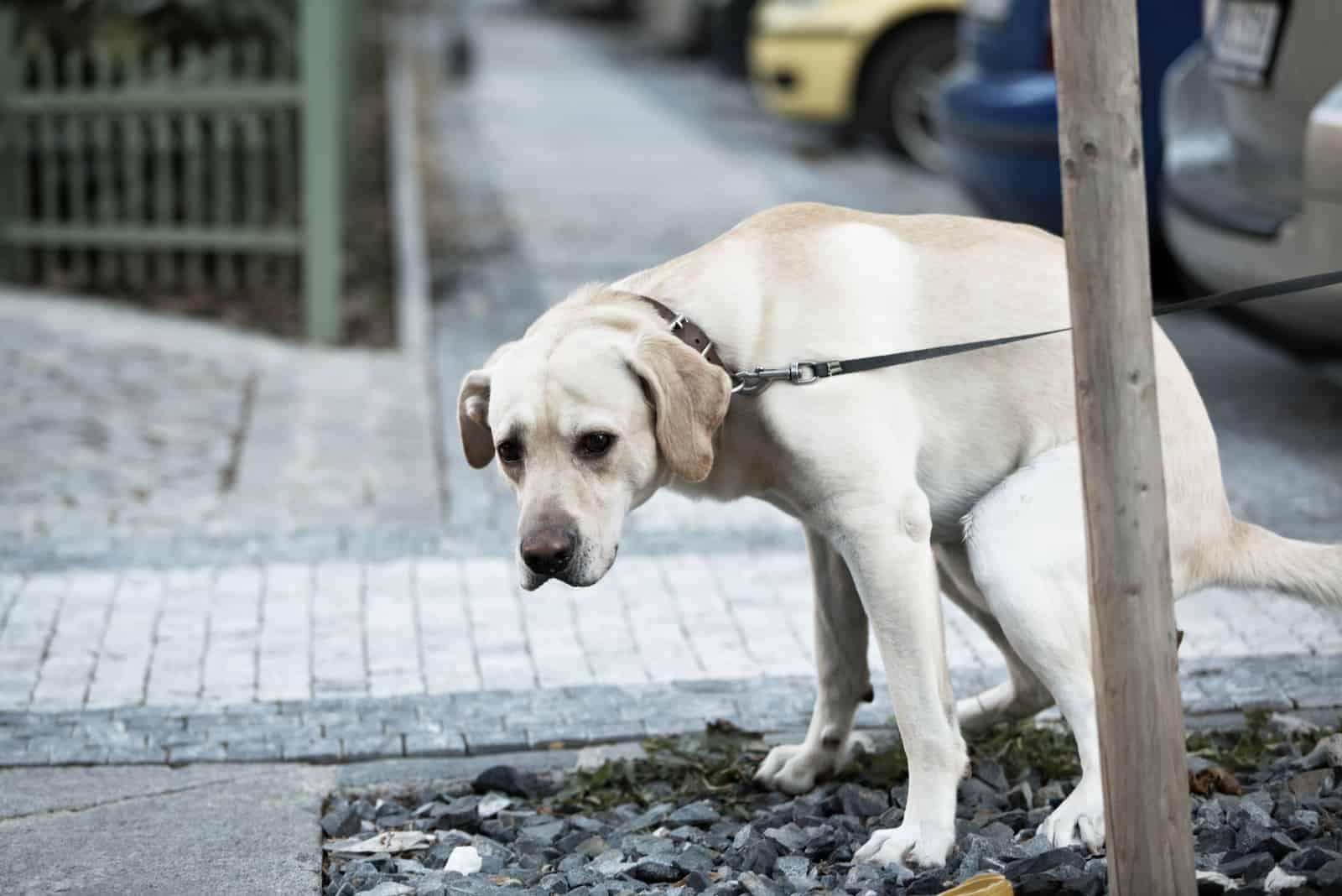 Der weiße Hund an der Leine uriniert großartig
