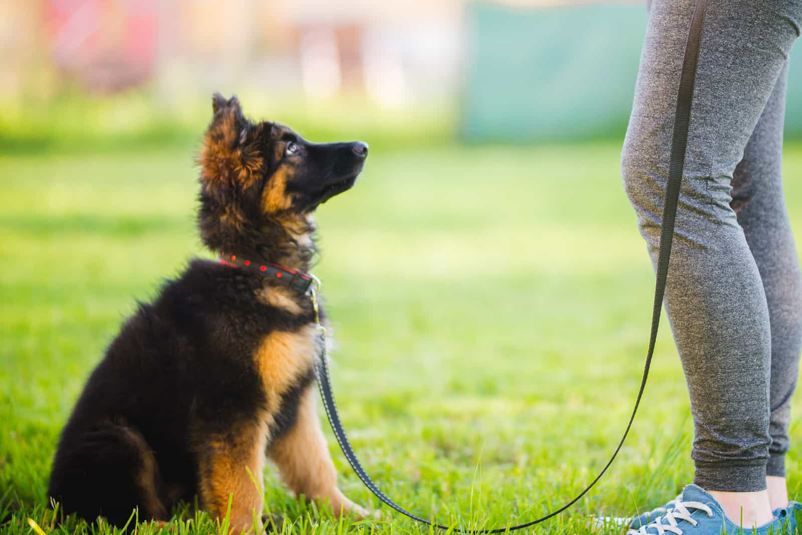 Deutscher Schäferhund Welpe sitzt und trainiert mit dem Besitzer