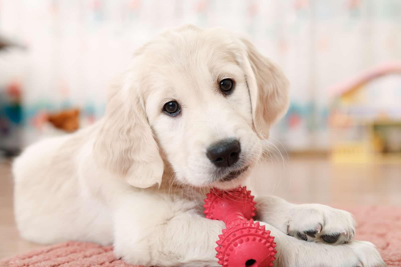 Ein Labrador Retriever Welpe liegt auf dem Boden des Raumes und hat Spaß mit einem Spielzeug