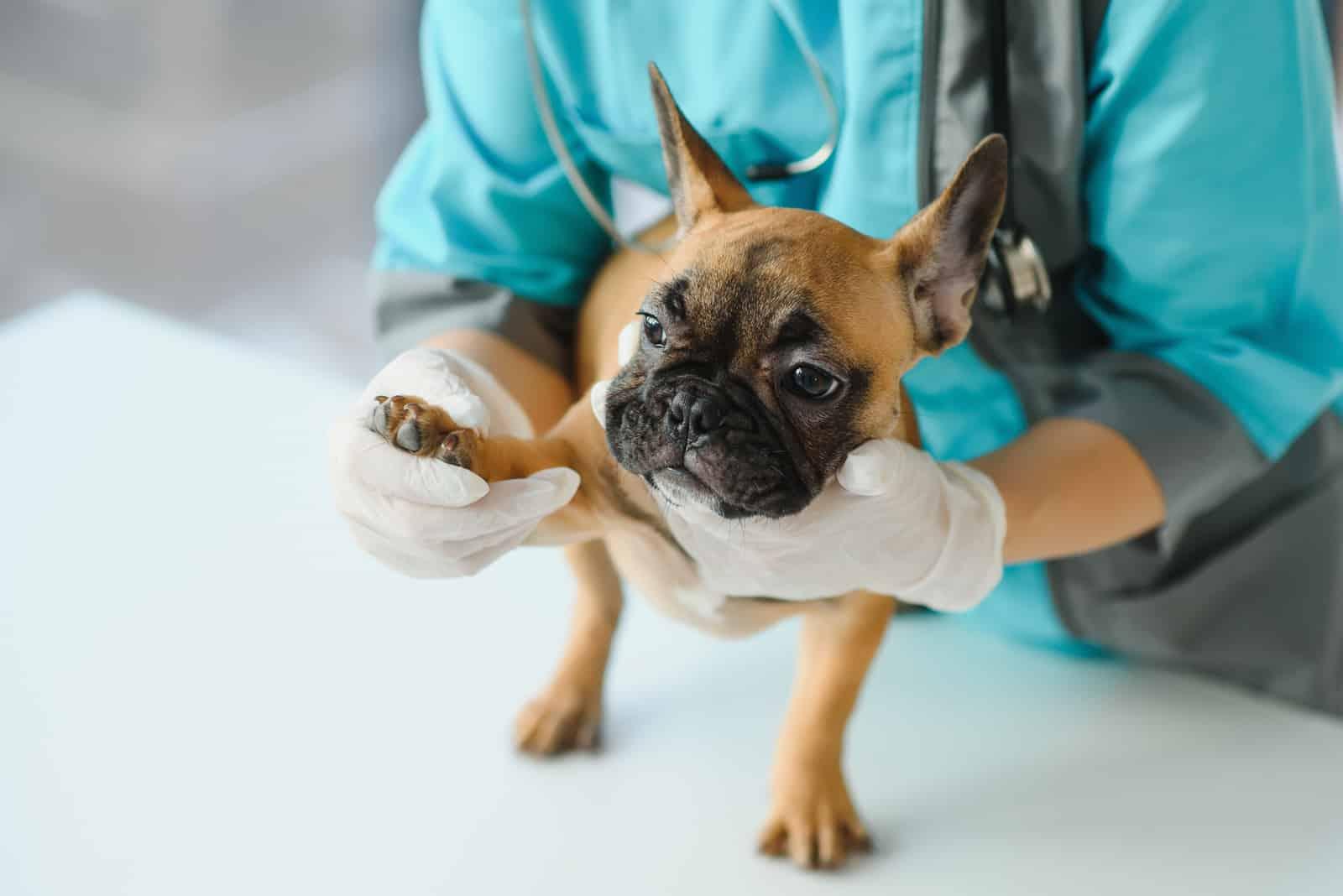 Ein Tierarzt untersucht eine französische Bulldogge
