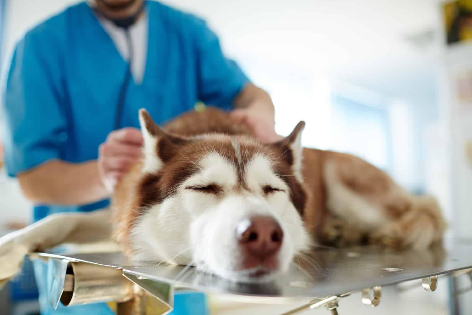 Ein Tierarzt untersucht einen kranken Husky