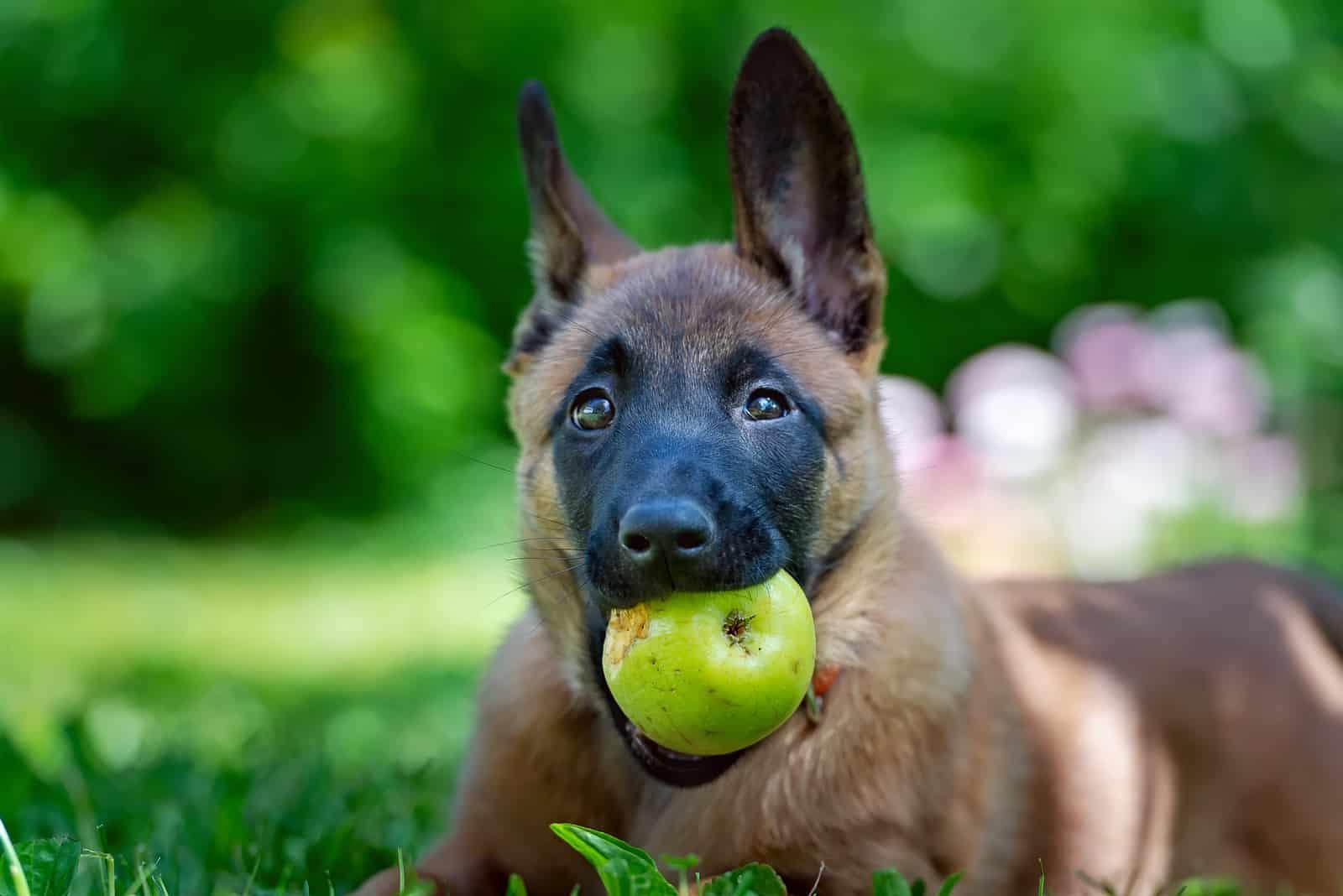 Ein belgischer Schäferhundwelpe liegt mit einem Apfel im Maul im Gras