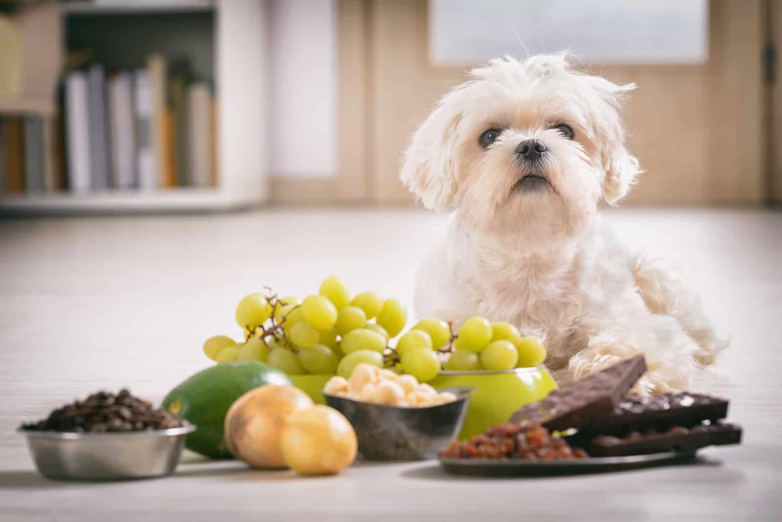 Ein kleiner weißer Hund liegt neben Obst und Süßigkeiten