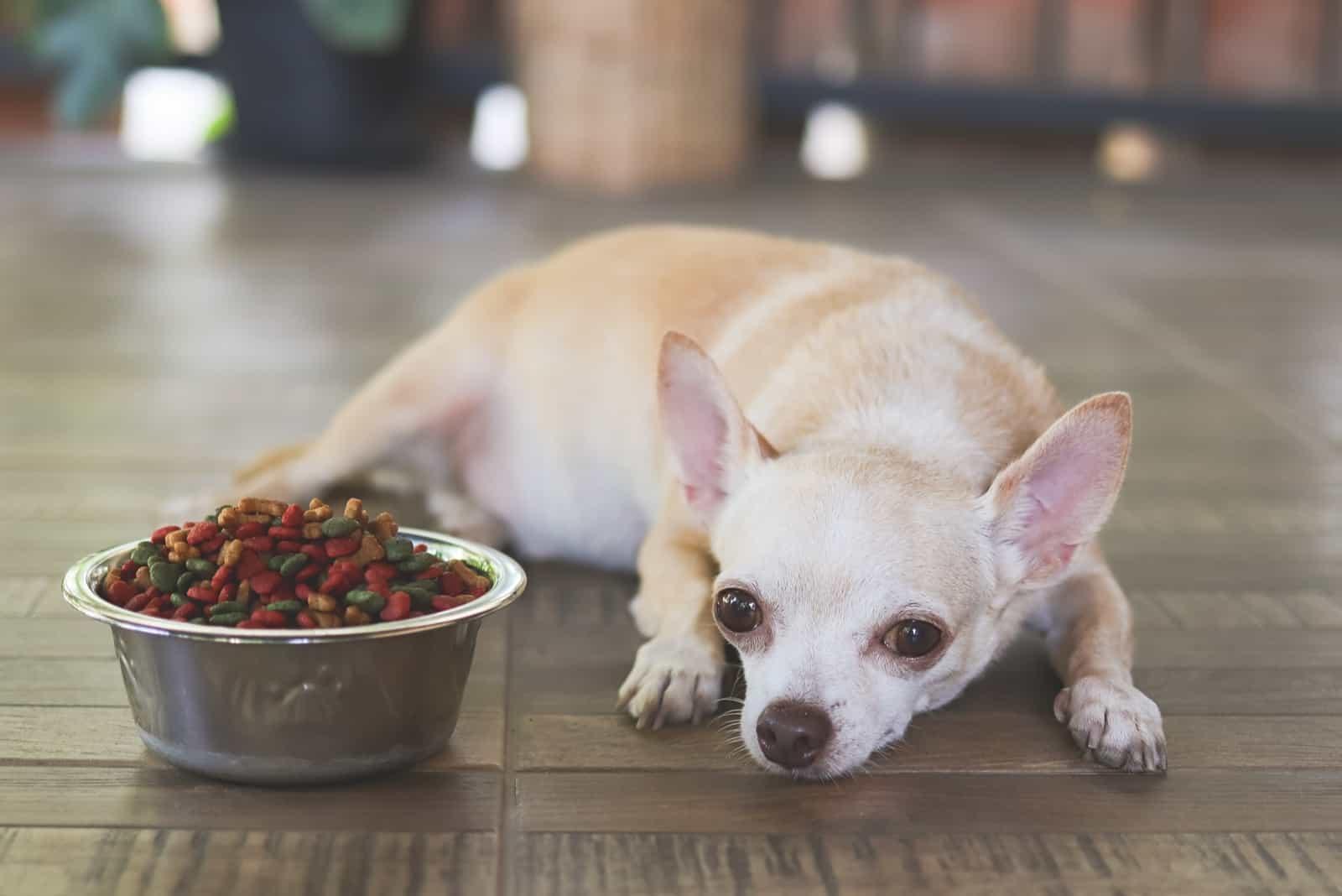 Ein kranker Chihuahua lehnt Essen ab