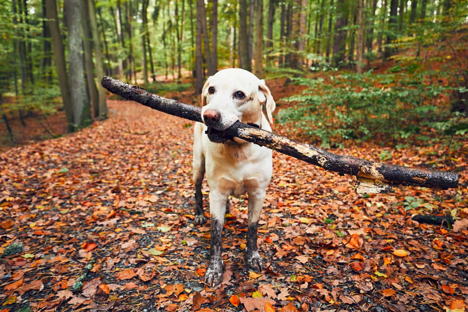 Ein schlammiger Labrador trägt einen Ast im Mund durch den Wald