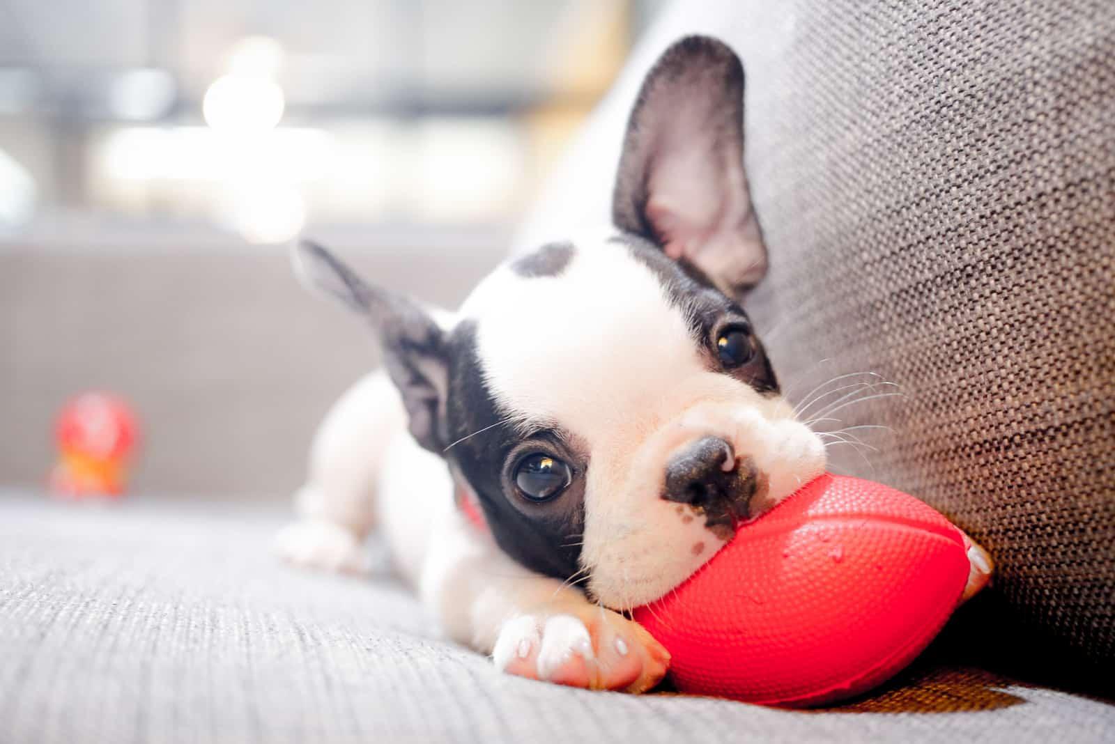 Ein süßer französischer Bulldoggenwelpe liegt auf dem Sofa und knabbert an einem Ball