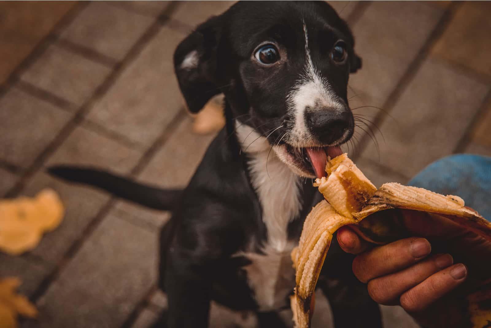 Ein süßer schwarzer Welpe frisst eine Banane aus der Hand des Besitzers