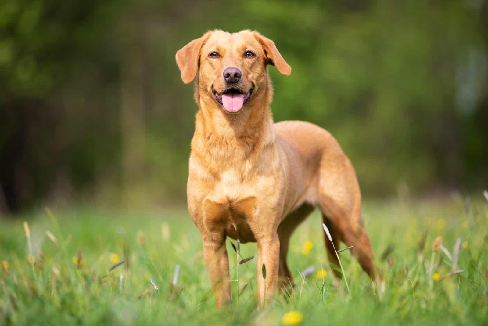 Ein wunderschöner reinrassiger Labrador steht im Gras