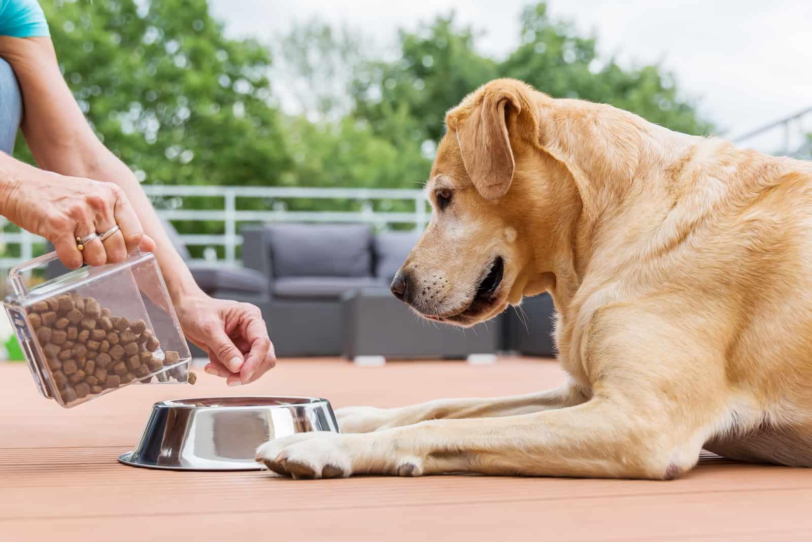 Frau gibt ihrem Labrador das Hundefutter in einer Futternapf