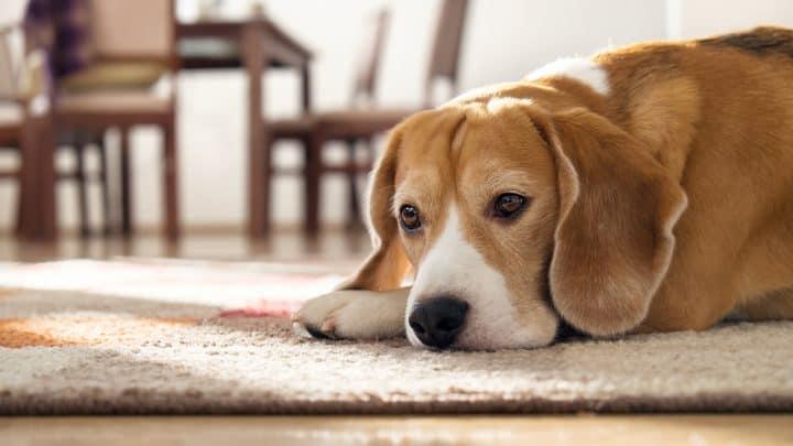 Beagle-Hund, der auf Teppich liegt