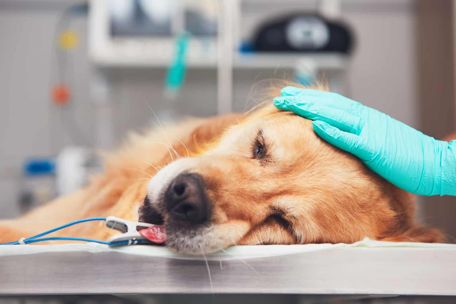 Golden Retriever, der vor der Operation auf dem Operationssaal liegt