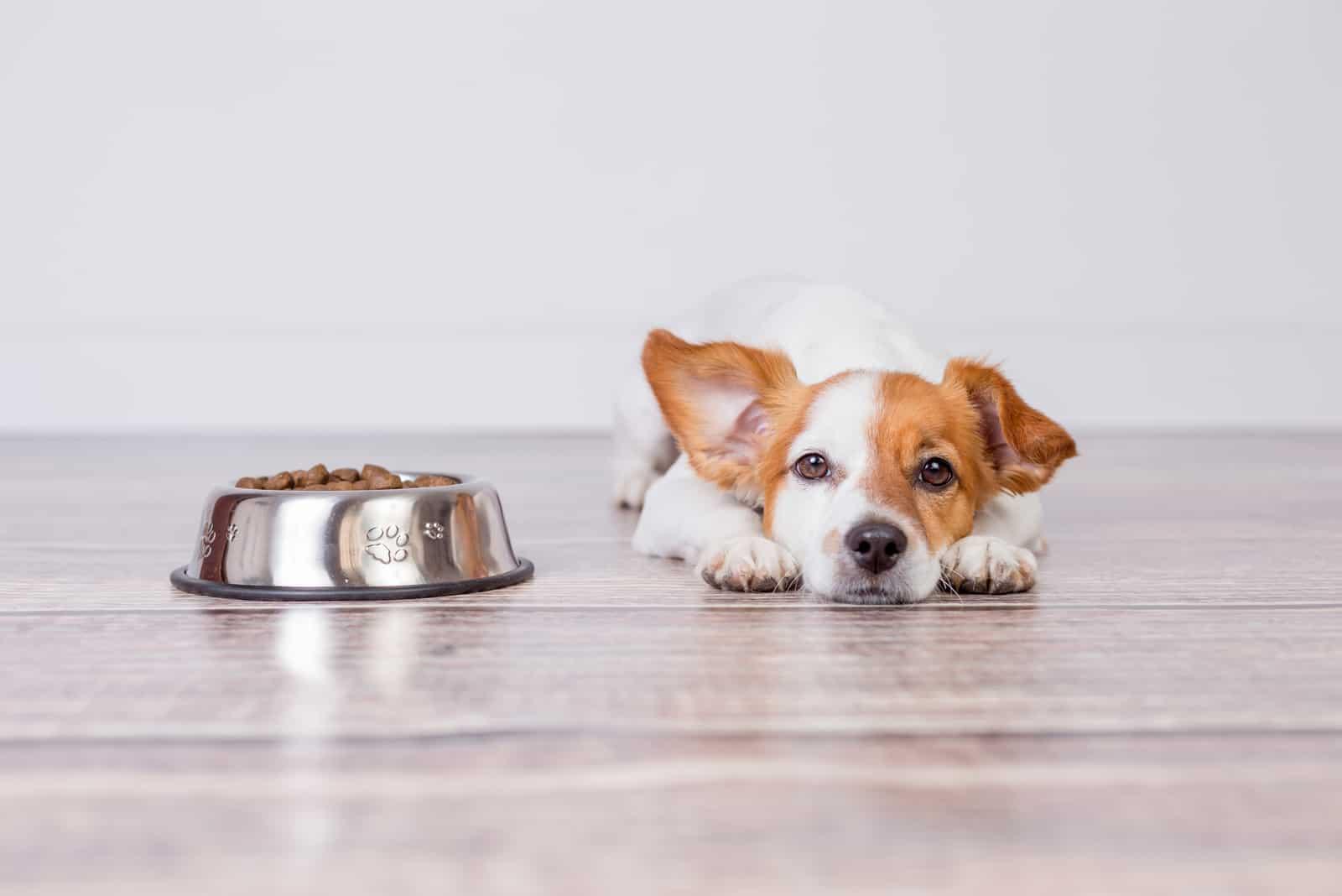 Hund, der an der Schüssel des Futters liegt